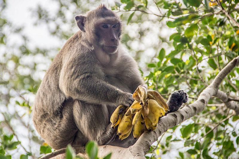 Cambogia, una grassa scimmia sugli alberi con banane